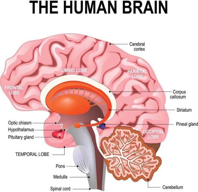 Human Brain Functions and Parts